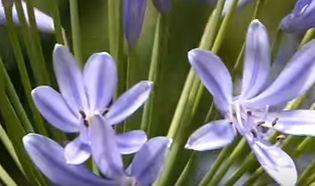 アガパンサスの花言葉