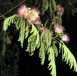 夜のネムノキの葉