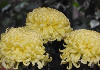 黄色の菊の花言葉の由来