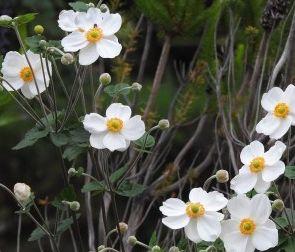 シュウメイギクの花言葉の由来