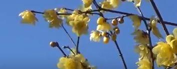 蝋梅の花言葉の由来