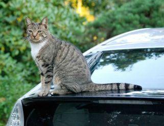 車に猫が乗るのを防ぐ方法
