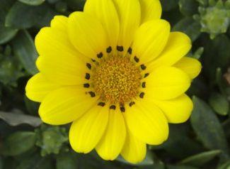 ガザニアの花言葉の由来