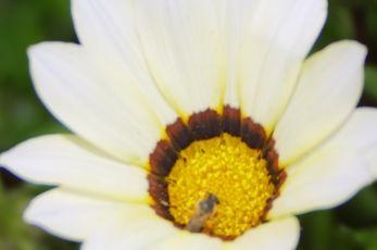 ガザニアの花言葉の潔白の由来