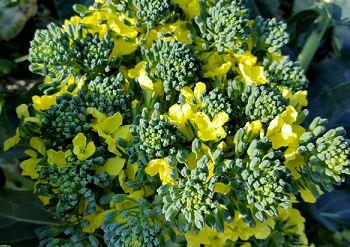 ブロッコリーの花言葉の由来