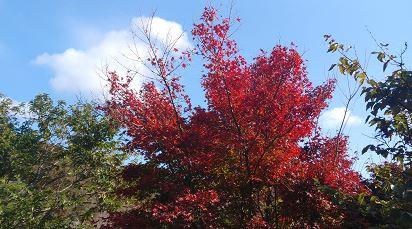 妙見山の紅葉の見頃